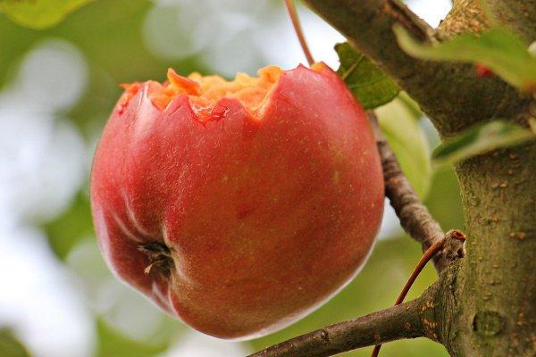 Angebissener Apfel am Baum